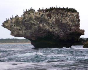Shags on a rock