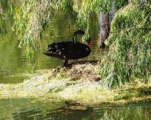 Black swan - nesting Dad