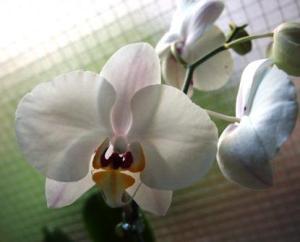 Angel orchid - Phalaenopsis