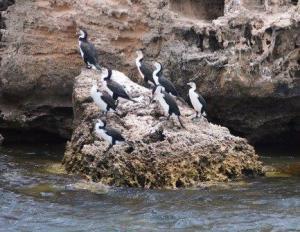 Pied Cormorants at Penguin Island