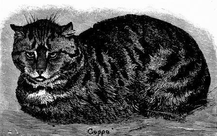 PSM_V37_D105_English_tabby_cat low res